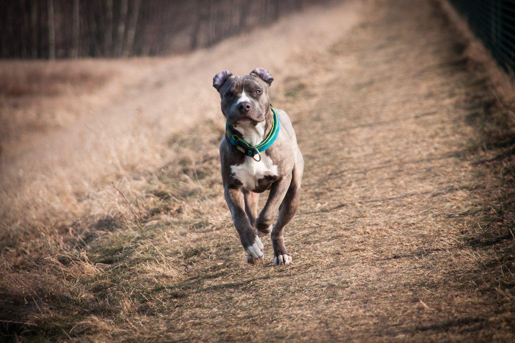 pitbull corriendo
