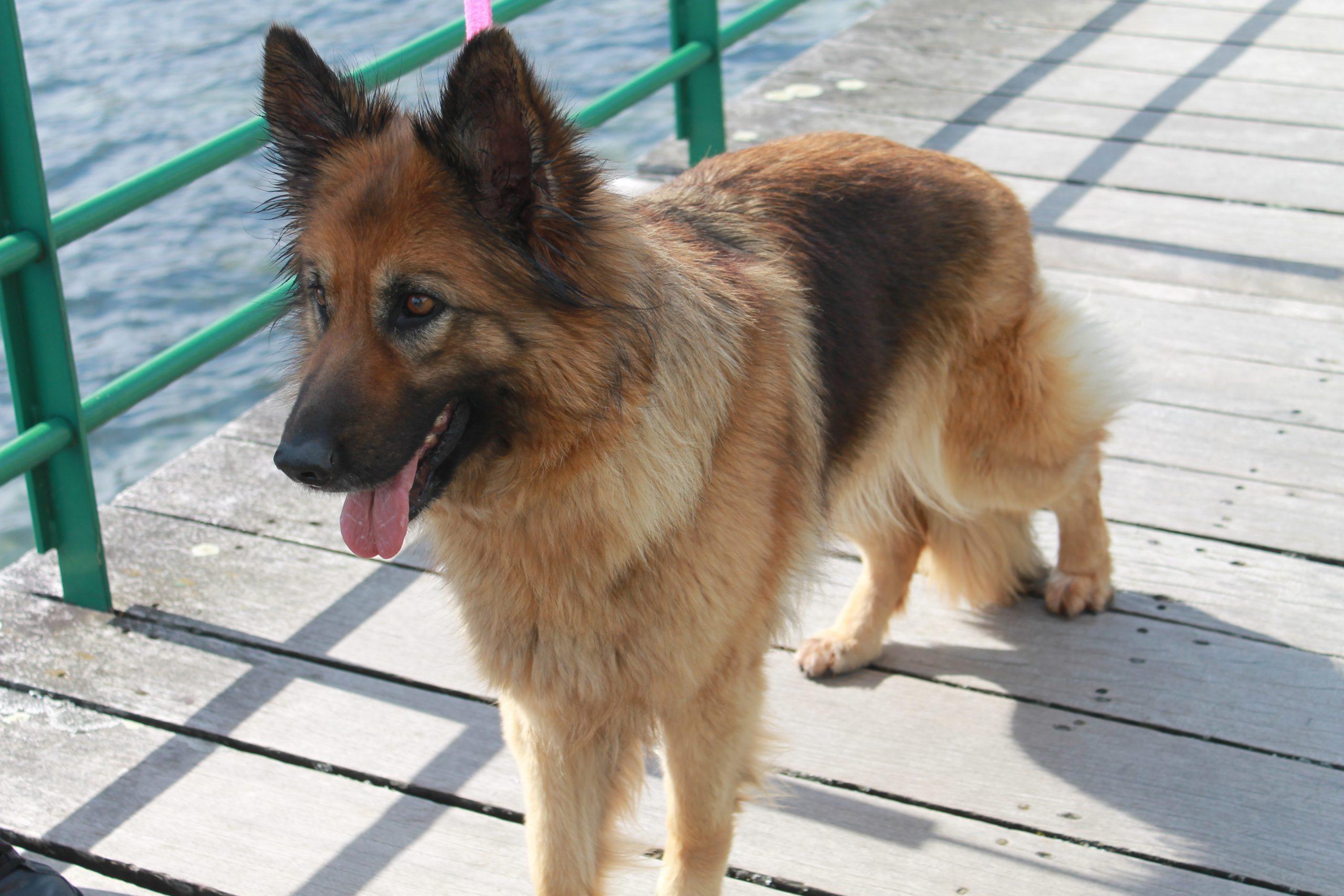 pastor aleman cachorro