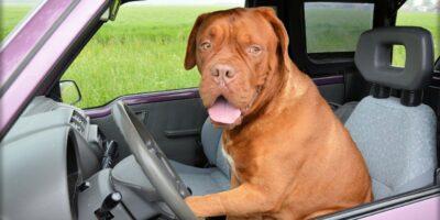 Como llevar a tus perros en el coche.