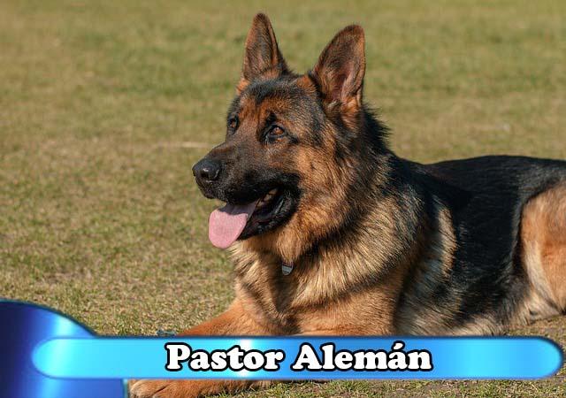 pastor aleman
